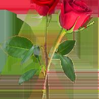 offrir deux roses à une femme