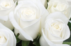 offrir des roses blanches