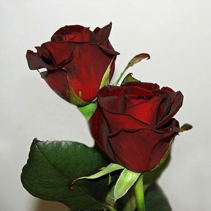 Combien De Roses Pour Dire Je T Aime