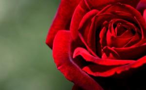 offrir des roses